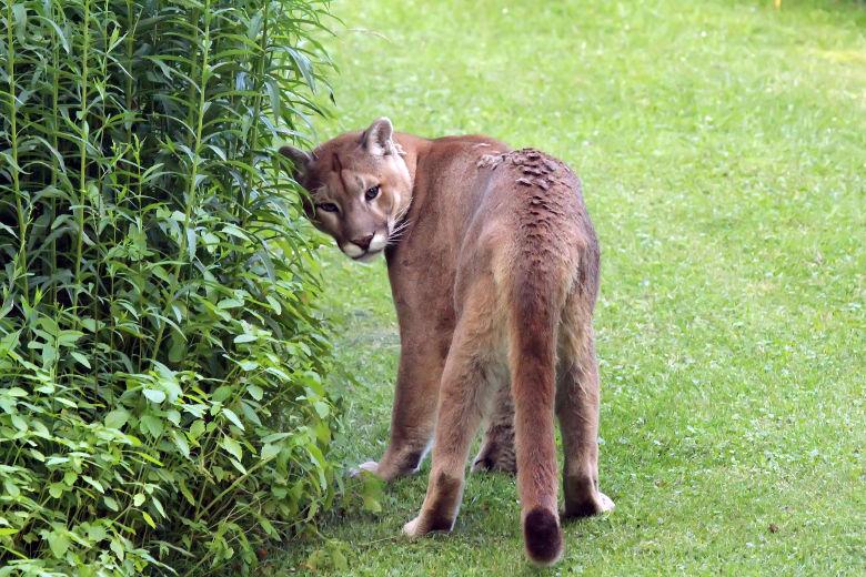 le cougar sono anche dette panterone